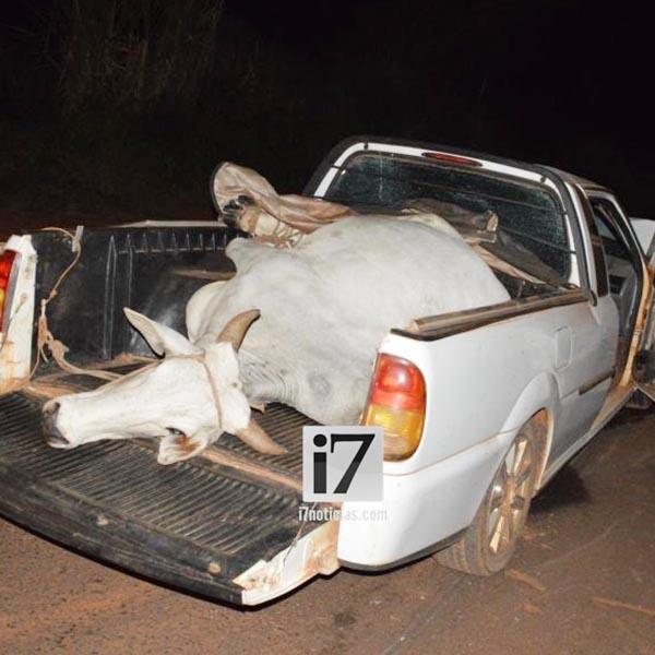 Veículo que transportava vaca possivelmente furtada se envolve em acidente em Paraguaçu