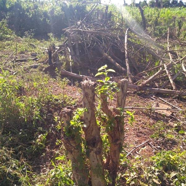 Dono de sítio é multado em quase R$ 8 mil por corte ilegal de árvores em Paraguaçu Paulista