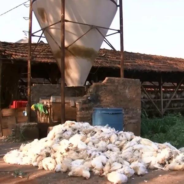 Produtores de ovos relatam morte de mais de 30 mil galinhas por causa do calor