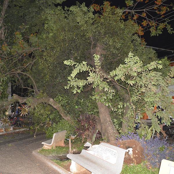 Árvore tomba na Praça da Matriz e quase atinge grupo de jovens