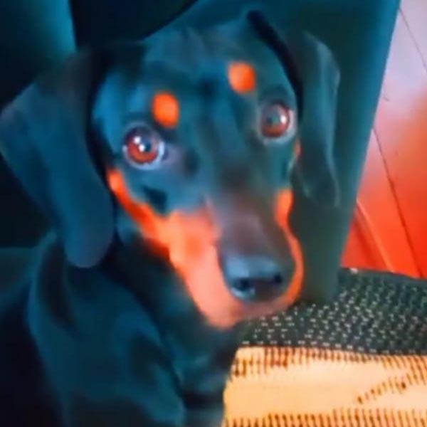Cachorra está desaparecida há quase duas semanas; quem encontrá-la receberá gratificação