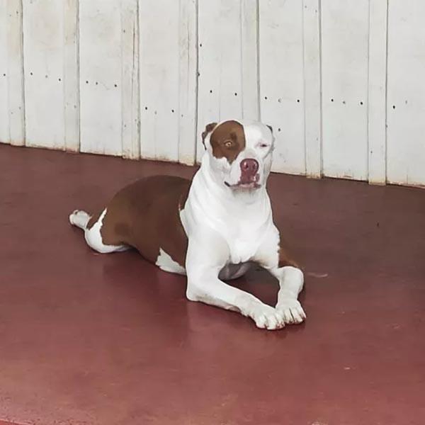 Idoso de 80 anos é atacado por 6 pitbulls em Rancharia
