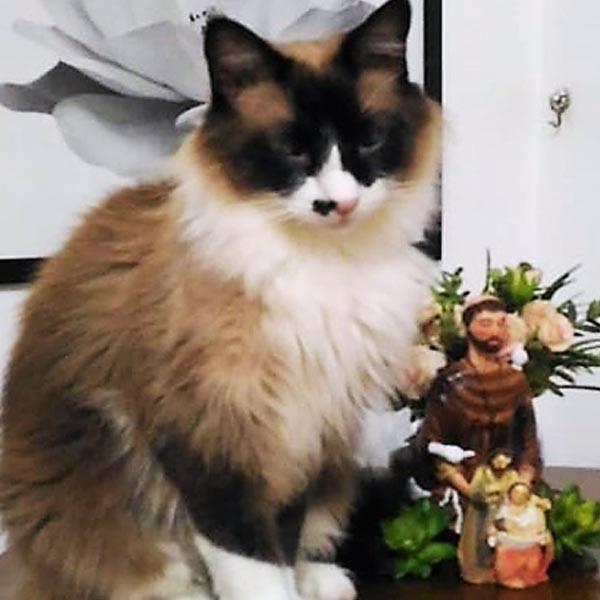Gato está desaparecido; proprietária paga recompensa para quem encontrá-lo